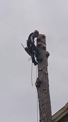 Kapping av den siste kubben før vi tar ned resten av treet